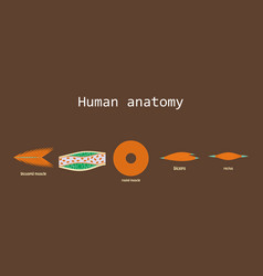 Types of muscle tissue of human body diagram vector