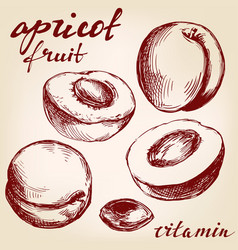 Apricot fruit set hand drawn vector