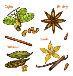Herbs condiments and spices vanilla and cinnamon vector