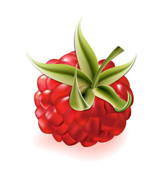 raspberry on white background vector image vector image