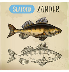Zander or pike-perch sketch for menu vector