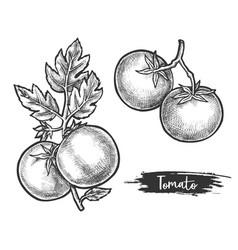 Couple tomato fetus on stem sketch plant vector