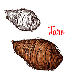 Taro sketch of tropical plant tuber vector