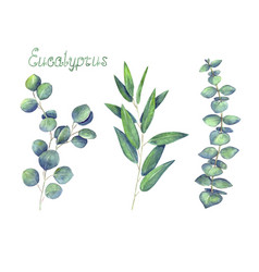 Eucalyptus leaves and branches blue green set vector