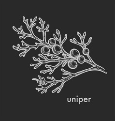 Juniper tree leaves branch with shelled seed vector