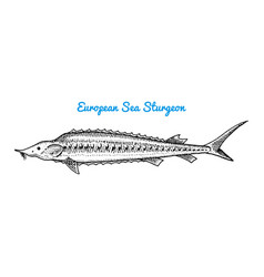 river and lake fish european sea sturgeon sea vector image