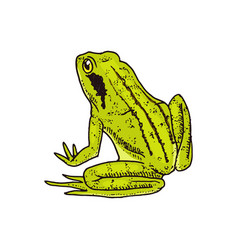 moor frog tropical amphibian wild animal vector image