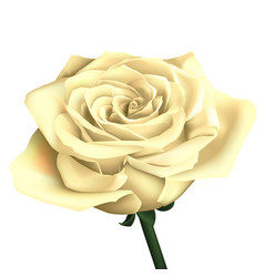 realistic white rose vector image