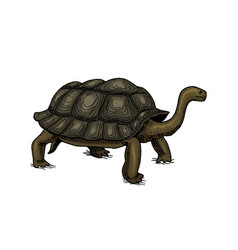Galapagos giant tortoise cute turtle in ecuador vector