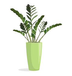 indoor plant in a pot zamiokulkas vector image