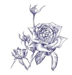 rose branch hand drawn llustration vector image vector image