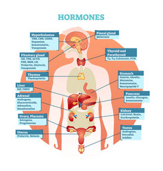human body hormones diagram vector image