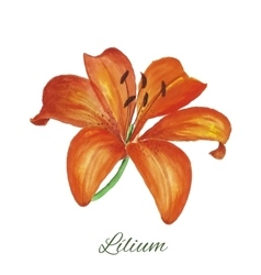lily watercolor painting on white background vector image