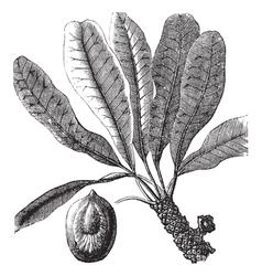 Bassia vintage engraving vector image