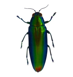 Jewel beetle vector