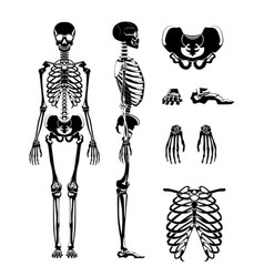 Silhouette of human skeleton anatomy vector