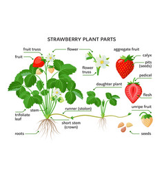 Strawberry plant parts botanical drawings with vector