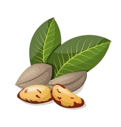 Brazil nuts with leafs isolated on white vector image