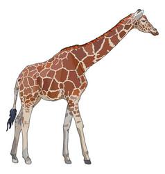 Realistic giraffe vector