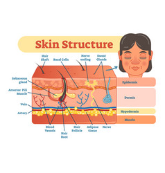 Skin structure diagram vector