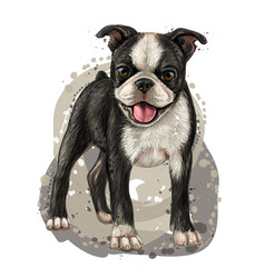 Dog breed boston terrier color portrait vector