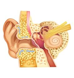 Inner ear vector