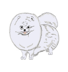white pomeranian dog hand drawn vector image