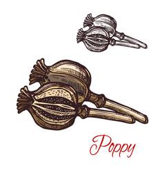 poppy pod seasoning plant sketch plant icon vector image