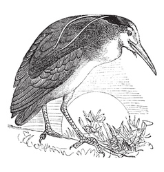 Night Heron vintage engraving vector image