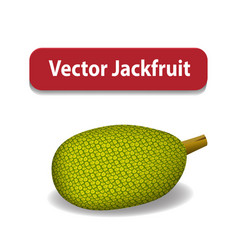 Raw green jackfruit isolated on white vector