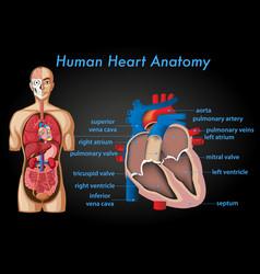 Information poster human heart anatomy vector