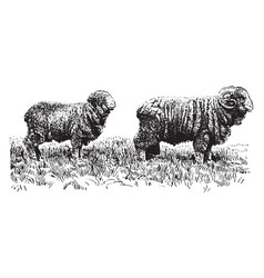 American merino sheep vintage vector