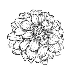 Black and white dahlia flower isolated on vector