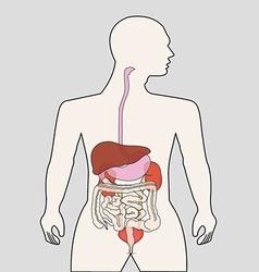 Organ system vector image