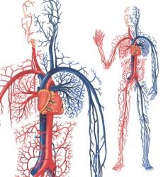 Circulation blood vector