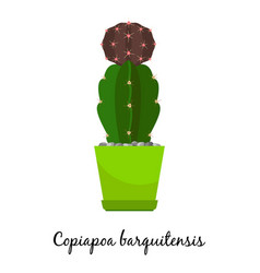 Copiapoa barquitensis cactus in pot vector