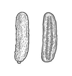 cucumber vegetable sketch vector image