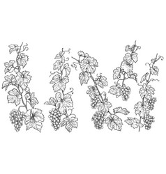 hand drawn monochrome grape branches vector image