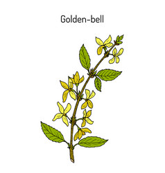 Golden bell forsythia suspensa medicinal plant vector