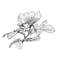 Hand drawing of wild rose branch with blooming vector