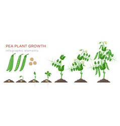 pea plant growth stages infographic elements in vector image