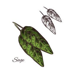 sage seasoning plant sketch plant icon vector image