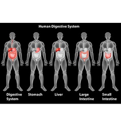 The human digestive system vector