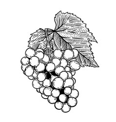 Grape in engraving style isolated on white vector