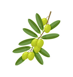 green olive branch on white background vector image