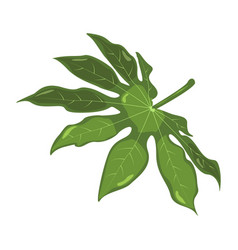 aralia tropical leaves botanical element for vector image