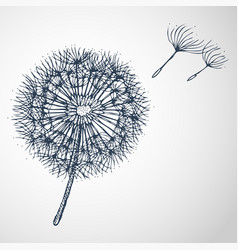 Dandelion hand drawn vector