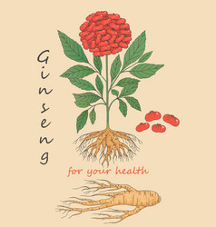 hand drawn of ginseng vector image