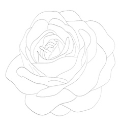 black and white rose isolated on white background vector image