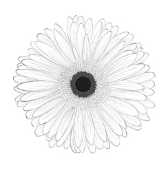 black and white gerbera flower isolated vector image